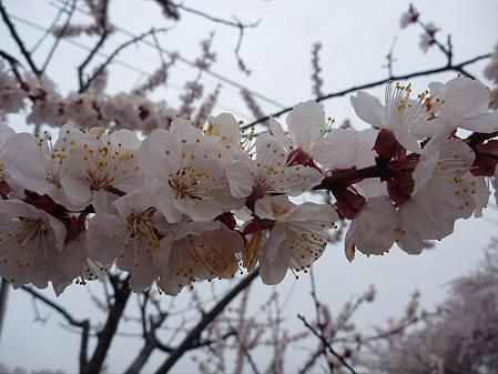 高松公園の桜21(2011.4.30)