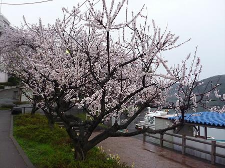 高松公園の桜22(2011.4.30)