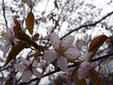 岩脇~東黒石野の桜03(2011.4.30)