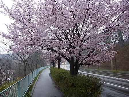 岩脇~東黒石野の桜02(2011.4.30)