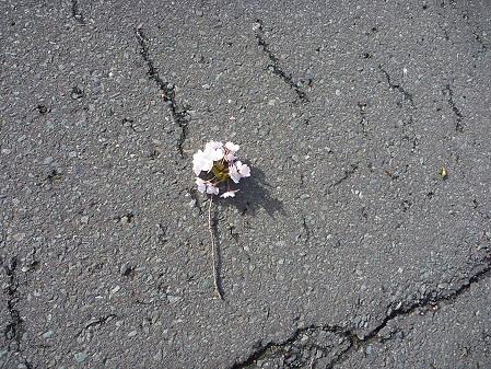 四十四田ダムの桜03(2011.5.2)