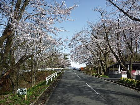 四十四田ダムの桜02(2011.5.2)