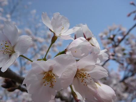 四十四田ダムの桜04(2011.5.2)