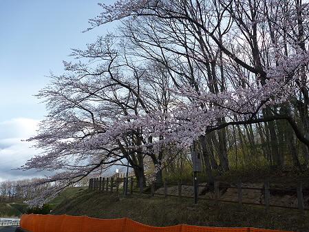四十四田ダムの桜05(2011.5.2)