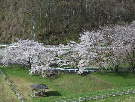 四十四田ダムの桜08(2011.5.2)