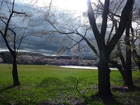 四十四田ダムの桜10(2011.5.2)