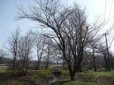 明治百年記念公園の桜01(2011.5.2)