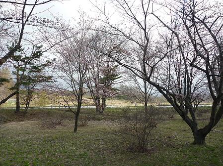 明治百年記念公園の桜03(2011.5.6)