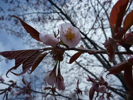 明治百年記念公園の桜04(2011.5.6)
