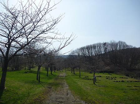 八幡平市さくら公園の桜01(2011.5.6)