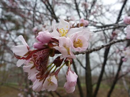 明治百年記念公園の桜02(2011.5.7)