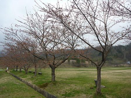 八幡平市さくら公園の桜01(2011.5.7)