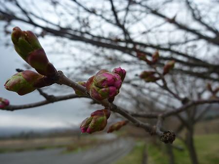 八幡平市さくら公園の桜03(2011.5.7)