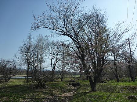 明治百年記念公園の桜01(2011.5.9)
