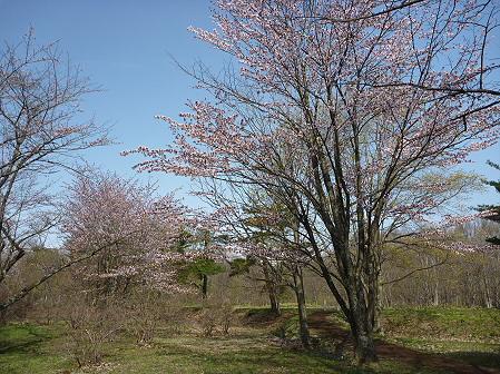 明治百年記念公園の桜04(2011.5.9)
