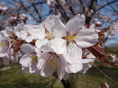 明治百年記念公園の桜05(2011.5.9)