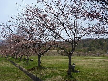 八幡平市さくら公園の桜04(2011.5.9)