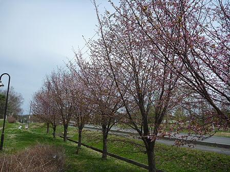 八幡平市さくら公園の桜06(2011.5.9)