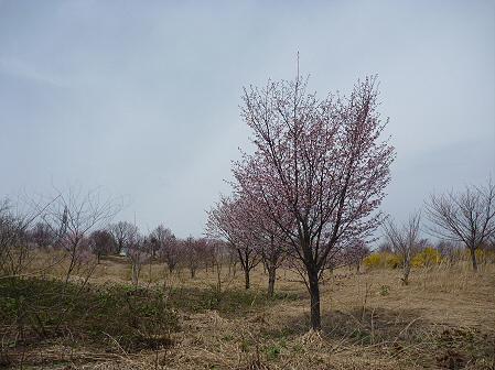 八幡平市さくら公園の桜08(2011.5.9)