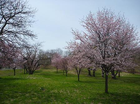 八幡平市さくら公園の桜09(2011.5.9)