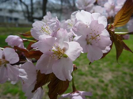八幡平市さくら公園の桜10(2011.5.9)