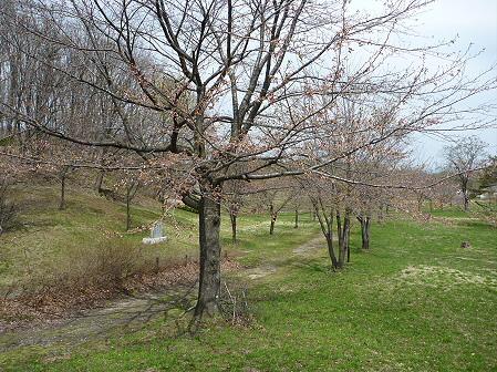 八幡平市さくら公園の桜11(2011.5.9)