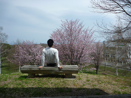 八幡平市さくら公園の桜01(2011.5.9)