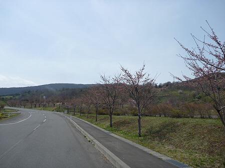 八幡平市さくら公園の桜02(2011.5.9)