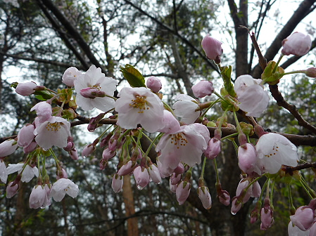 上坊牧野手前の桜並木04(2011.5.10)