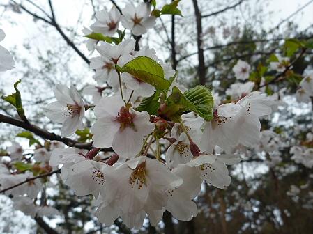 上坊牧野手前の桜並木03(2011.5.10)