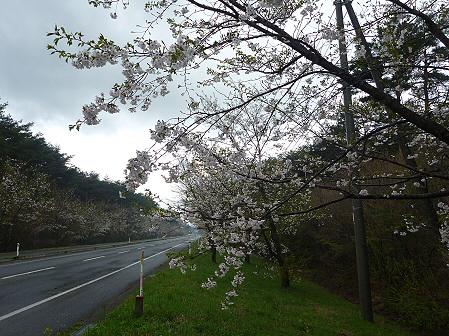 上坊牧野手前の桜並木02(2011.5.10)