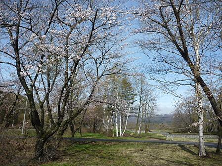 明治百年記念公園の桜02(2011.5.10)