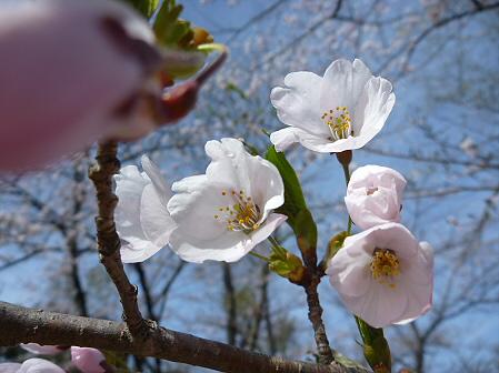 明治百年記念公園の桜03(2011.5.10)