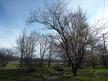 明治百年記念公園の桜04(2011.5.10)