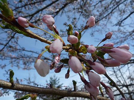 明治百年記念公園の桜05(2011.5.10)