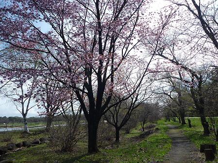 明治百年記念公園の桜06(2011.5.10)