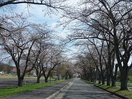 八幡平トラウトガーデンの桜01(2011.5.10)