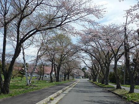 八幡平トラウトガーデンの桜02(2011.5.10)