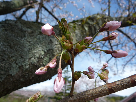 八幡平トラウトガーデンの桜03(2011.5.10)