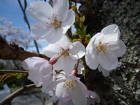 八幡平トラウトガーデンの桜04(2011.5.10)