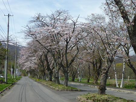 八幡平トラウトガーデンの桜05(2011.5.10)