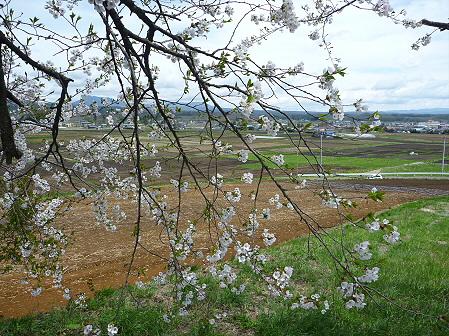 為内の一本桜05(2011.5.10)