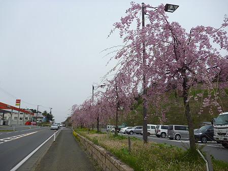 道の駅にしねの桜03(2011.5.11)
