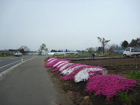 平笠のシバザクラ02(2011.5.11)