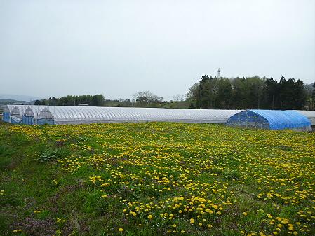 平笠のタンポポ畑01(2011.5.11)