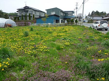 平笠のタンポポ畑03(2011.5.11)