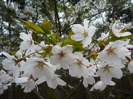 上坊牧野手前の桜並木01(2011.5.11)