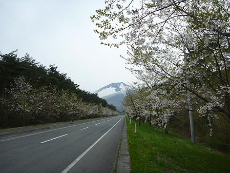 上坊牧野手前の桜並木02(2011.5.11)