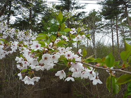 上坊牧野手前の桜並木03(2011.5.11)