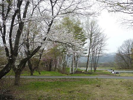 明治百年記念公園の桜04(2011.5.11)